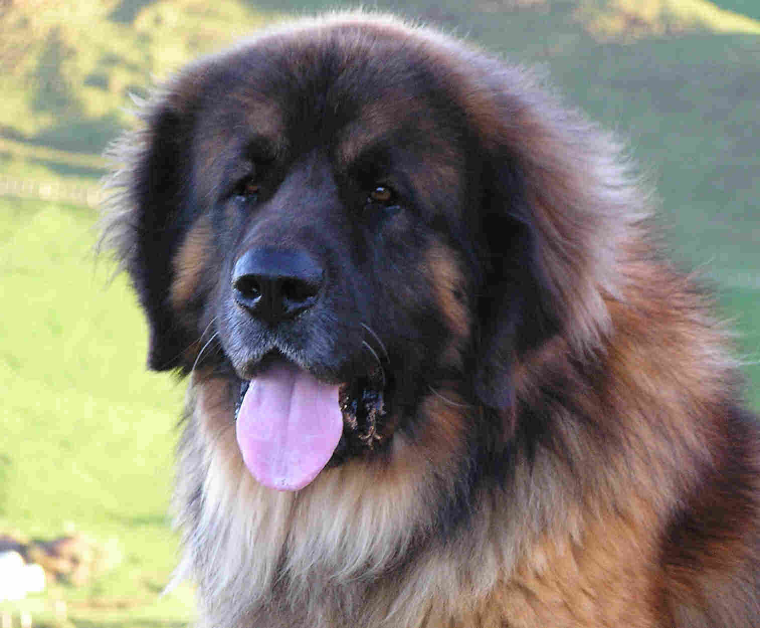 Great Pyrenees Leonberger Mix | Dog Breeds Picture