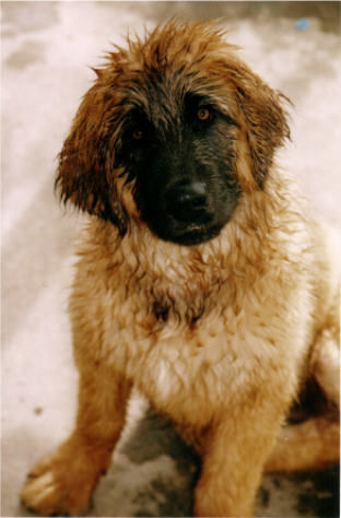 leonberger adoption